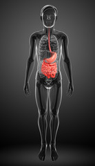 Small intestine anatomy of male