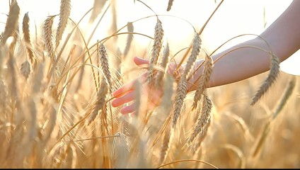 Children's hand touches ears of ripe wheat on the move