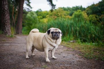 Little fat pug