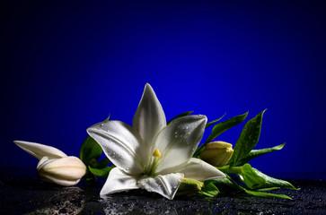 white freshness lily