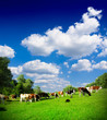 Cows grazing on pasture - 68147117