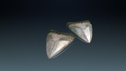 Fossils Teeth of a Megalodon in a blue turntable