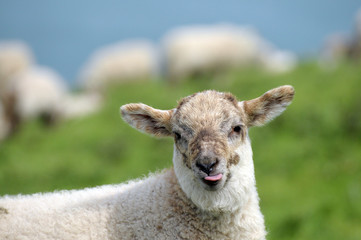 Lamb in field sticking tongue out, Cardigan coast