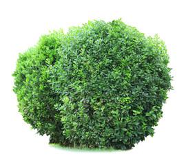 Green lush bushes isolated on white
