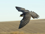 Soaring Falcon