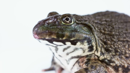 Common brown Thai frog isolated on a white background