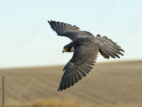 Papiers peints Oiseau Soaring Falcon