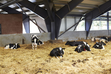 Cows lying in straw in barn