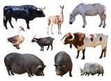 farm animals. Isolated over white background