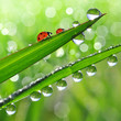 Fresh grass with dew drops and ladybugs