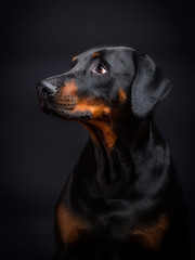 Doberman Portrait