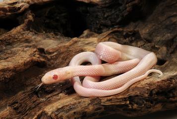 Kornnatter  (Pantherophis guttatus) Albino Blizzard