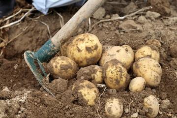 Ernte von Kartoffeln
