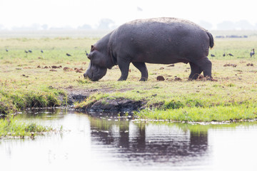 Hippo on island in Chobe River