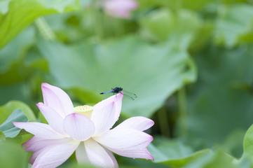 蓮 蓮の花 トンボ