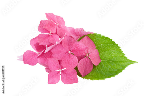 Hydrangea flower with green leaf isolated on white
