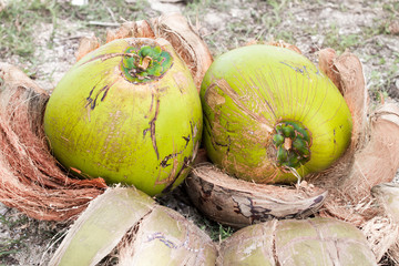 twin coconut