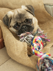 Puppy dog pug and rope rope
