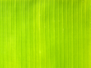 Backlit fresh green palm leaf