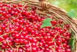 Red currants in garden basket,organic berries background