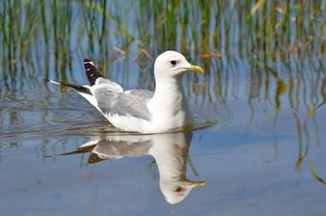 Чайка на озере