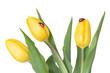Three yellow tulips and ladybugs