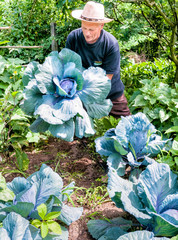 Gardener with organic purple cabbage