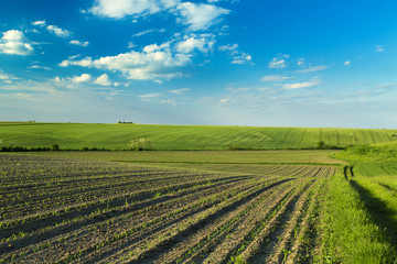 Agricultural landscape of growing fields at spring season.