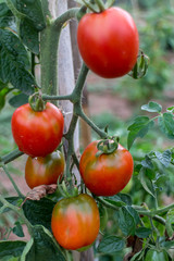 tomatoes in plant from garden