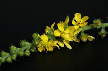 Odermenning; Agrimonia, Eupatoria; Agrimony; Bachbluete;
