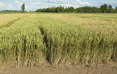 Growing wheat fields with different sorts and colors