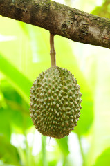 Durian, King of fruit in farm