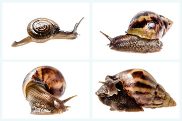 Collection of Garden snail isolated on white.