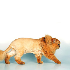 Kater oder Löwe?