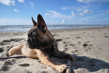 puppy dog French Bouledogue at the beach