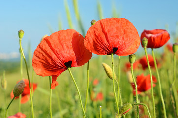 Beautiful poppy flowers in a field against the sky in pastel col