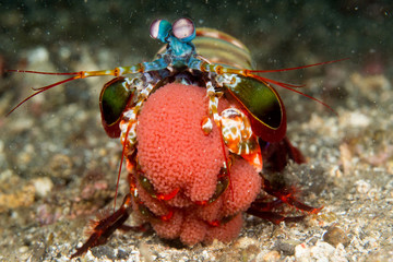 Mantis Shrimp Holding Eggs