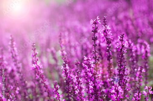 Foto op Aluminium Lavendel Lavender flowers