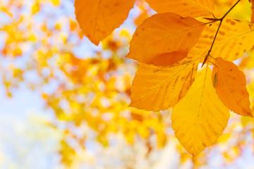 orange leaves in autumn park