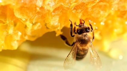 Bee gathering honey and nectar with proboscis