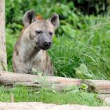 Single hyena looking to something