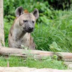 Single hyena looking to something