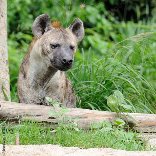 Fotobehang Hyena Single hyena looking to something