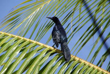 Oiseau, Honduras