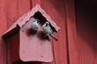 canvas print picture - zwei balzende Sperlinge vorm roten Vogelhaus