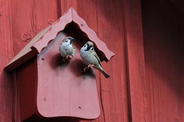 zwei balzende Sperlinge vorm roten Vogelhaus