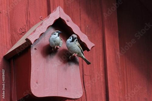 canvas print picture zwei balzende Sperlinge vorm roten Vogelhaus