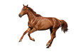 Obrazy na płótnie, fototapety, zdjęcia, fotoobrazy drukowane : Brown horse cantering free isolated on white
