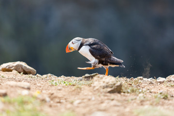 Puffin Walking