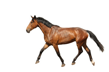 Chestnut brown horse running free on white background